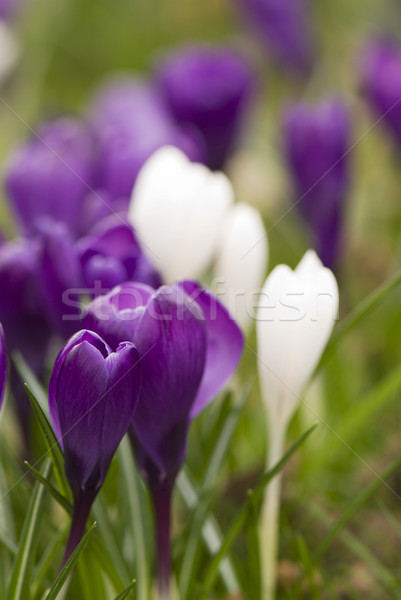 Crocus pourpre blanche herbe Photo stock © ivonnewierink
