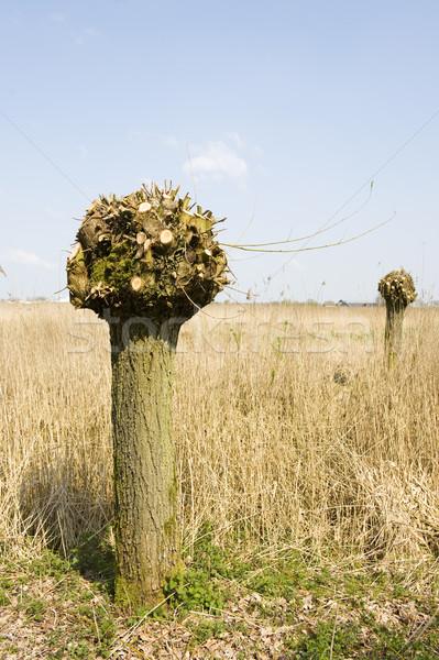 голландский ива дерево вертикальный пейзаж Сток-фото © ivonnewierink