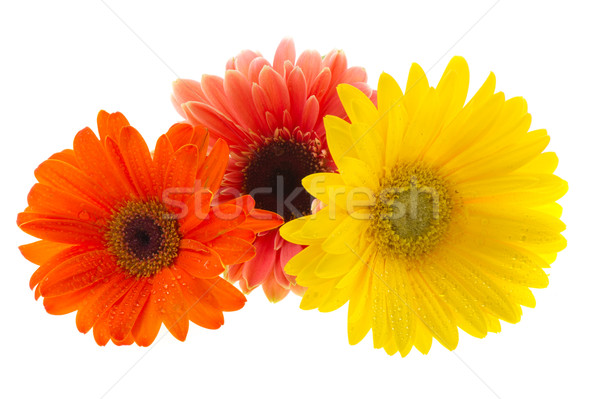 Colorful Gerber Stock photo © ivonnewierink