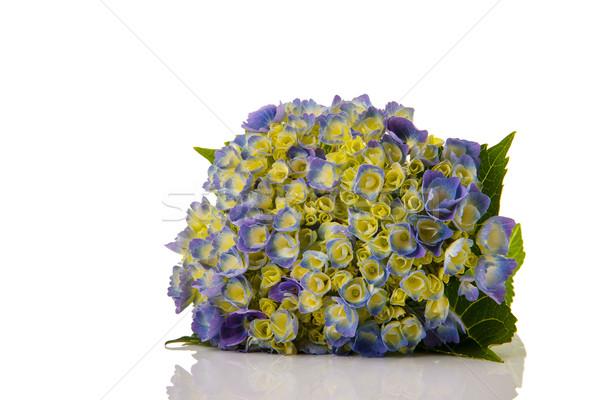 Blue Hydrangea Stock photo © ivonnewierink