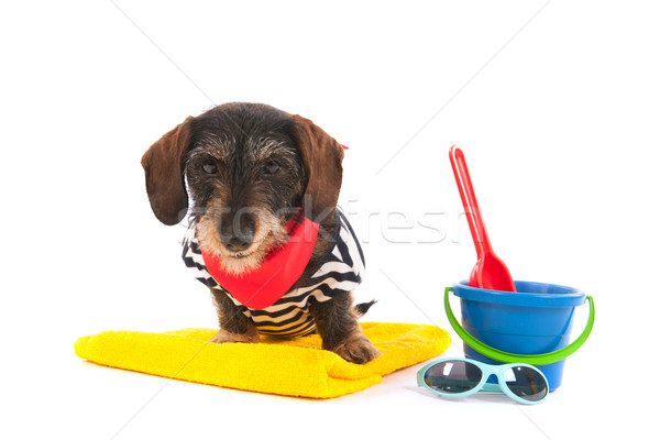 Wire haired dachshund at the beach Stock photo © ivonnewierink