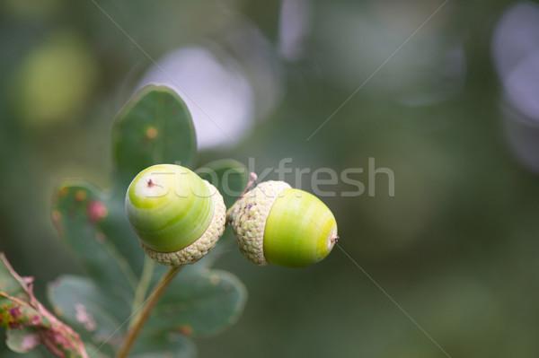 Drzewo wiszący owoców spadek makro dąb Zdjęcia stock © ivonnewierink