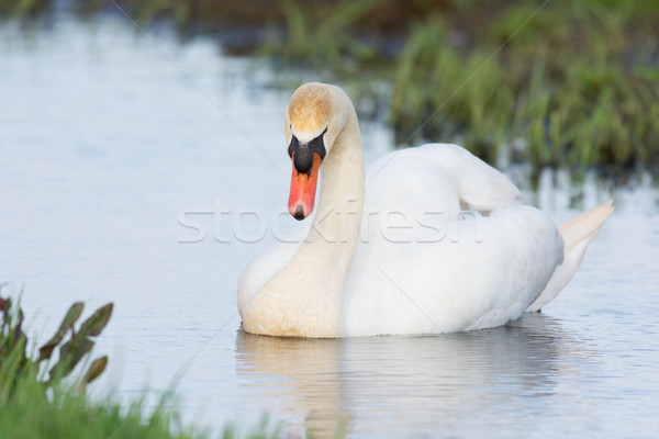 Mute swan in water Stock photo © ivonnewierink