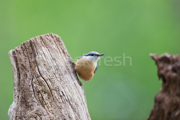 Nuthatch in nature Stock photo © ivonnewierink
