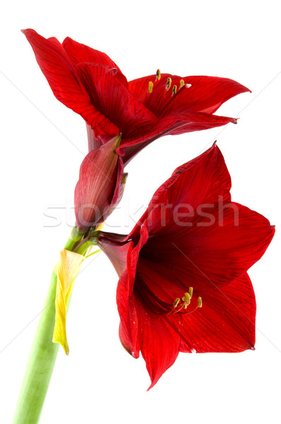 Amaryllis Stock photo © ivonnewierink