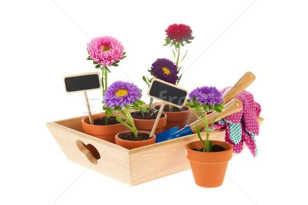 Gardening with asters Stock photo © ivonnewierink