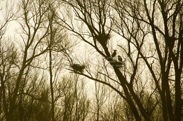 Heronry in trees  Stock photo © ivonnewierink