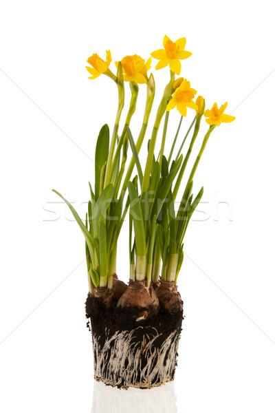 Citromsárga nárciszok tavasz Föld gyökerek virágok Stock fotó © ivonnewierink