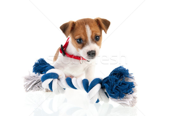 Jack Russel puppy with chewing rope Stock photo © ivonnewierink