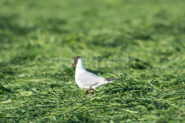 Black-headed sea gull walking in grass Stock photo © ivonnewierink