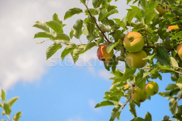 Faible pomme arbres verger de pommiers pommes Photo stock © ivonnewierink