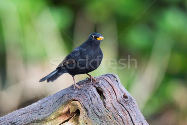 Blackbird bouleau arbre Homme Photo stock © ivonnewierink
