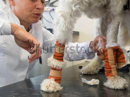 Witte hond zwachtel dierenarts kleurrijk vrouw Stockfoto © ivonnewierink