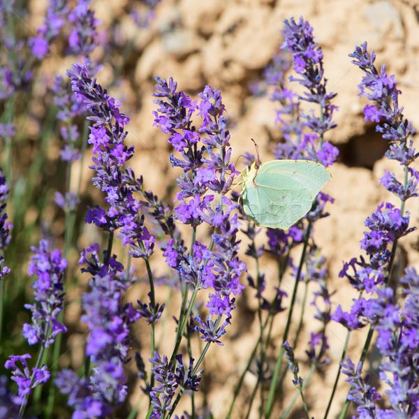 Сток-фото: лаванды · цветы · бабочка · Франция · французский