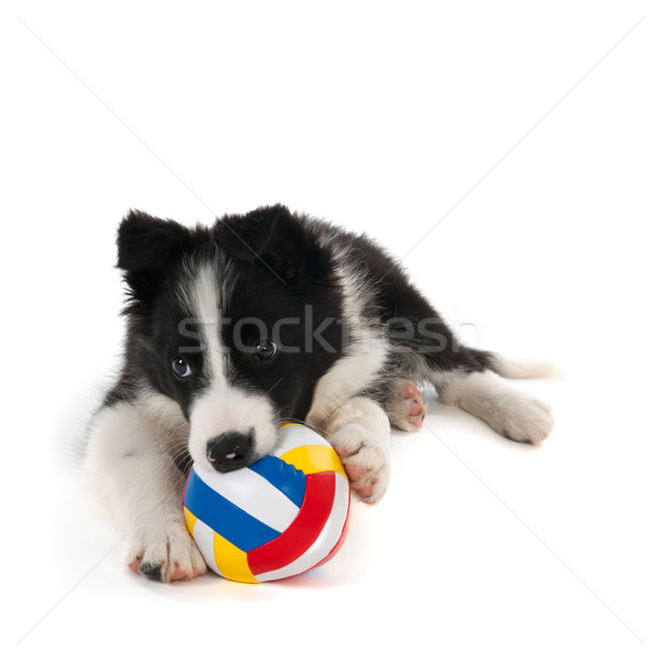 Giocare border collie cucciolo palla studio isolato Foto d'archivio © ivonnewierink