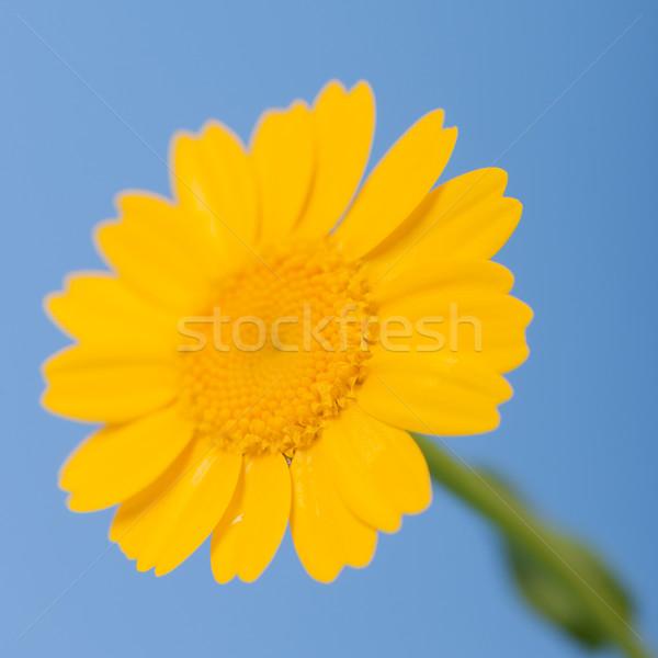 yellow flower Stock photo © ivonnewierink