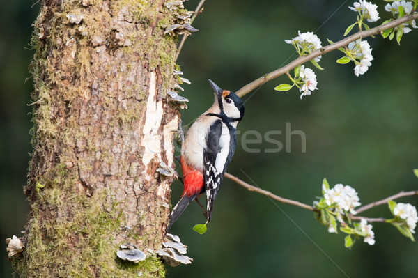 Great spotted woodpecker Stock photo © ivonnewierink