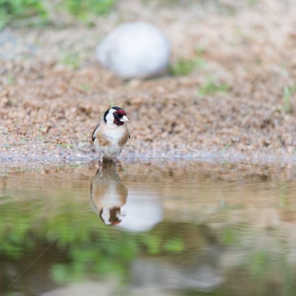 Fürdik európai férfi természet víz Stock fotó © ivonnewierink