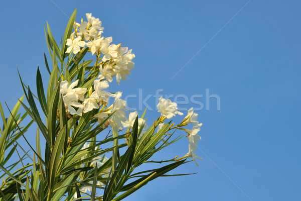 White oleander Stock photo © ivonnewierink