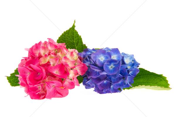 Pink and blue Hydrangea Stock photo © ivonnewierink