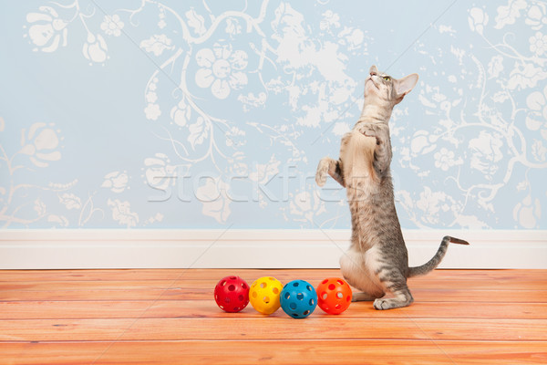 Tabby Siamese cat with vintage wall paper Stock photo © ivonnewierink