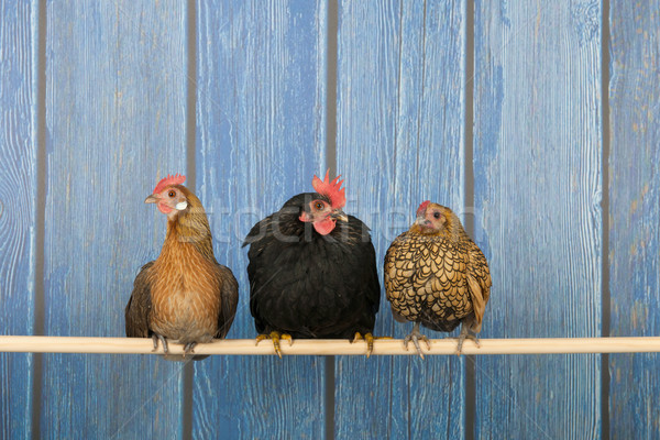 Chickens in henhouse Stock photo © ivonnewierink