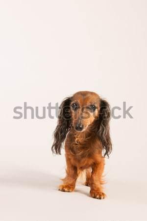 Tacskó bézs hosszú hajú krém díszállat barna Stock fotó © ivonnewierink