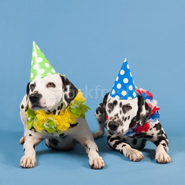 далматинец собаки рождения животные синий портрет Сток-фото © ivonnewierink