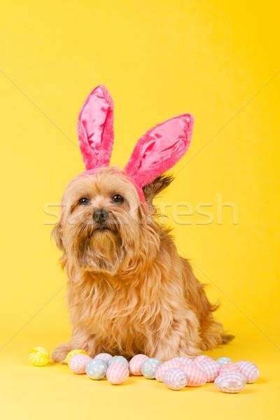 Foto d'archivio: Cane · coniglio · pasquale · Pasqua · uova · giallo