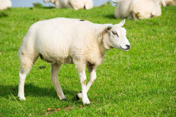 Sheep at the dike Stock photo © ivonnewierink