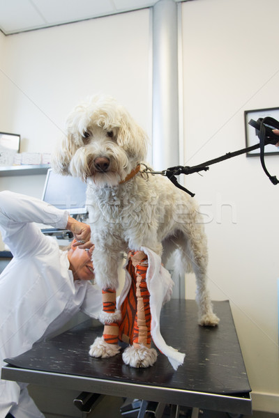 White dog with bandage at the veterinarian Stock photo © ivonnewierink