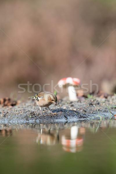 common Chaffinch near water Stock photo © ivonnewierink