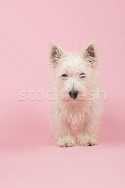 Oeste blanco terrier cachorro bebé perro Foto stock © ivonnewierink