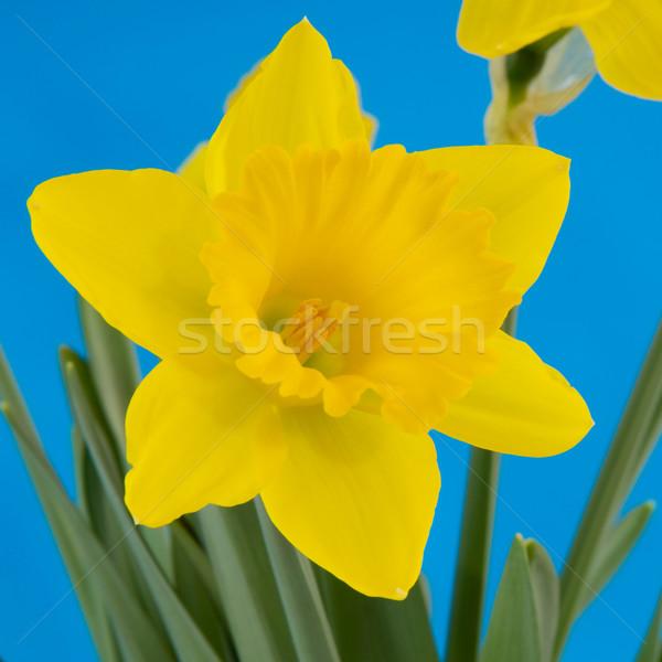 Nergis mavi sarı çiçekler bahar Stok fotoğraf © ivonnewierink