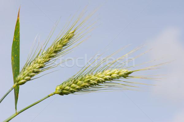 Seigle champs oreille extérieur vertical Photo stock © ivonnewierink