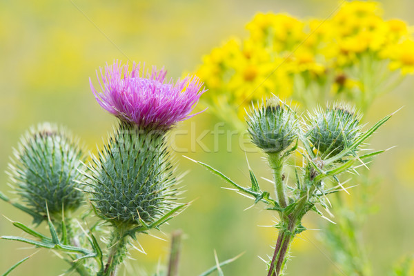 Purple thistle Stock photo © ivonnewierink