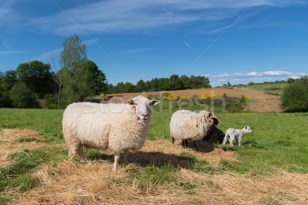 Fehér birka bárány fiatal tájkép farm Stock fotó © ivonnewierink
