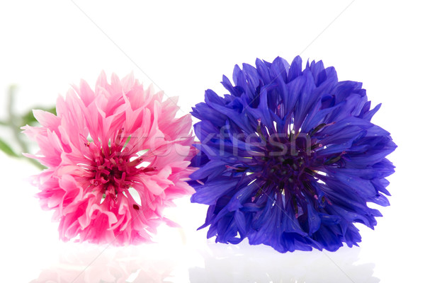 Pink and blue Cornflowers Stock photo © ivonnewierink