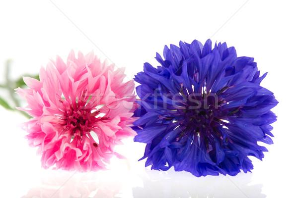 розовый синий цветы природы фон студию Сток-фото © ivonnewierink