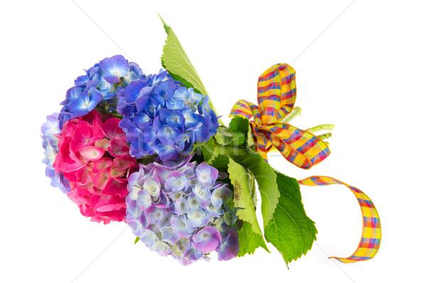 Blue and pink Hydrangea Stock photo © ivonnewierink