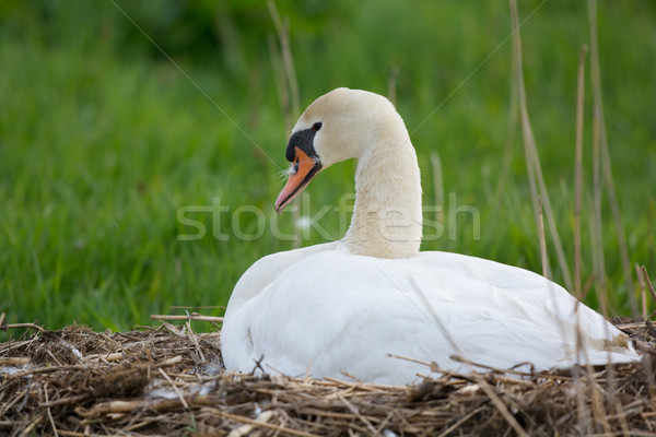 White mute swan on nest Stock photo © ivonnewierink