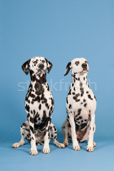 Dalmatian dogs on blue background Stock photo © ivonnewierink