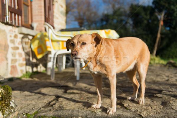 Old dog outdoor Stock photo © ivonnewierink
