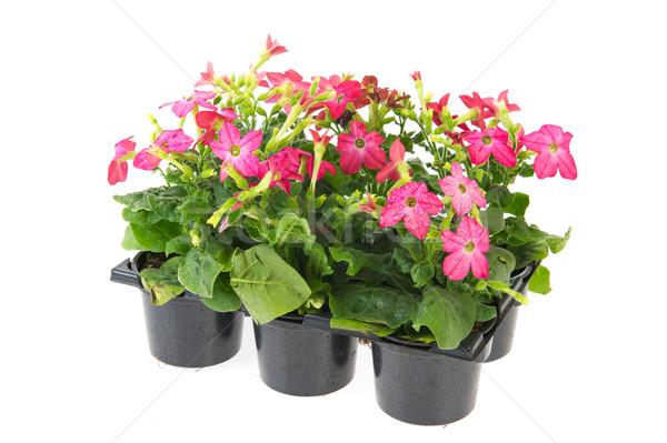 Nicotiana plants Stock photo © ivonnewierink