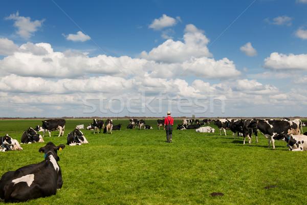 farmer walking in meadows with livestock Stock photo © ivonnewierink
