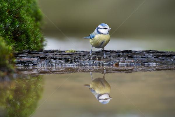 Blue tit Stock photo © ivonnewierink