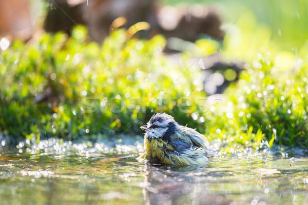 Blue tit in water Stock photo © ivonnewierink