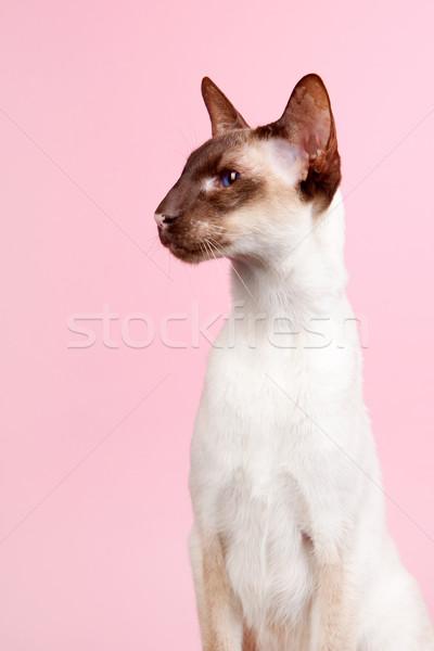 Sziámi macska fóka pont kék szemek rózsaszín háttér Stock fotó © ivonnewierink