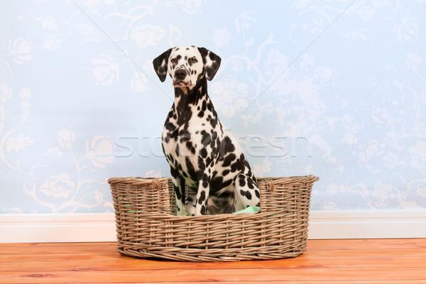 Dalmatian dog sitting in basket Stock photo © ivonnewierink