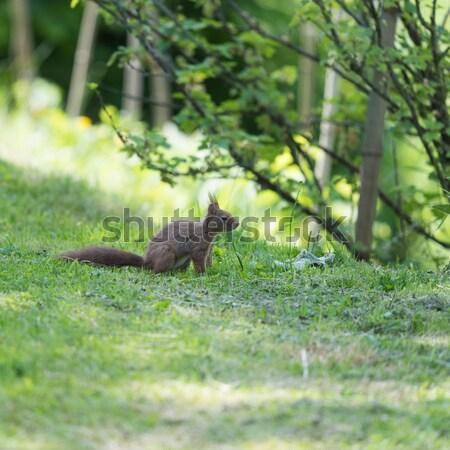 Sincap doğa kahverengi zemin çim Stok fotoğraf © ivonnewierink